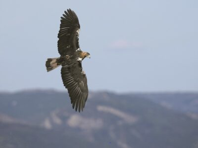 Aguila volando